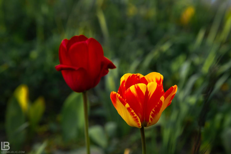 BEAUTIFUL SPRING PHOTOS 2019 – FLOWERS / BY PHOTOGRAPHER LEON BIJELIC / HAMBURG - BANJA LUKA - BEOGRAD - BELGRADE - STUTTGART / LEPE FOTOGRAFIJE - SLIKE - CVEĆE I PROLEĆE